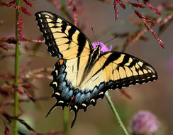 Image of Eastern Tiger Swallowtail