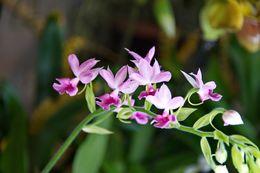 Image of <i>Calanthe rubensorchidee</i>