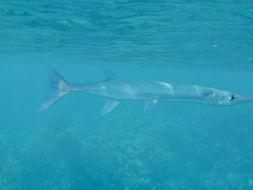 Image of Flat Needlefish