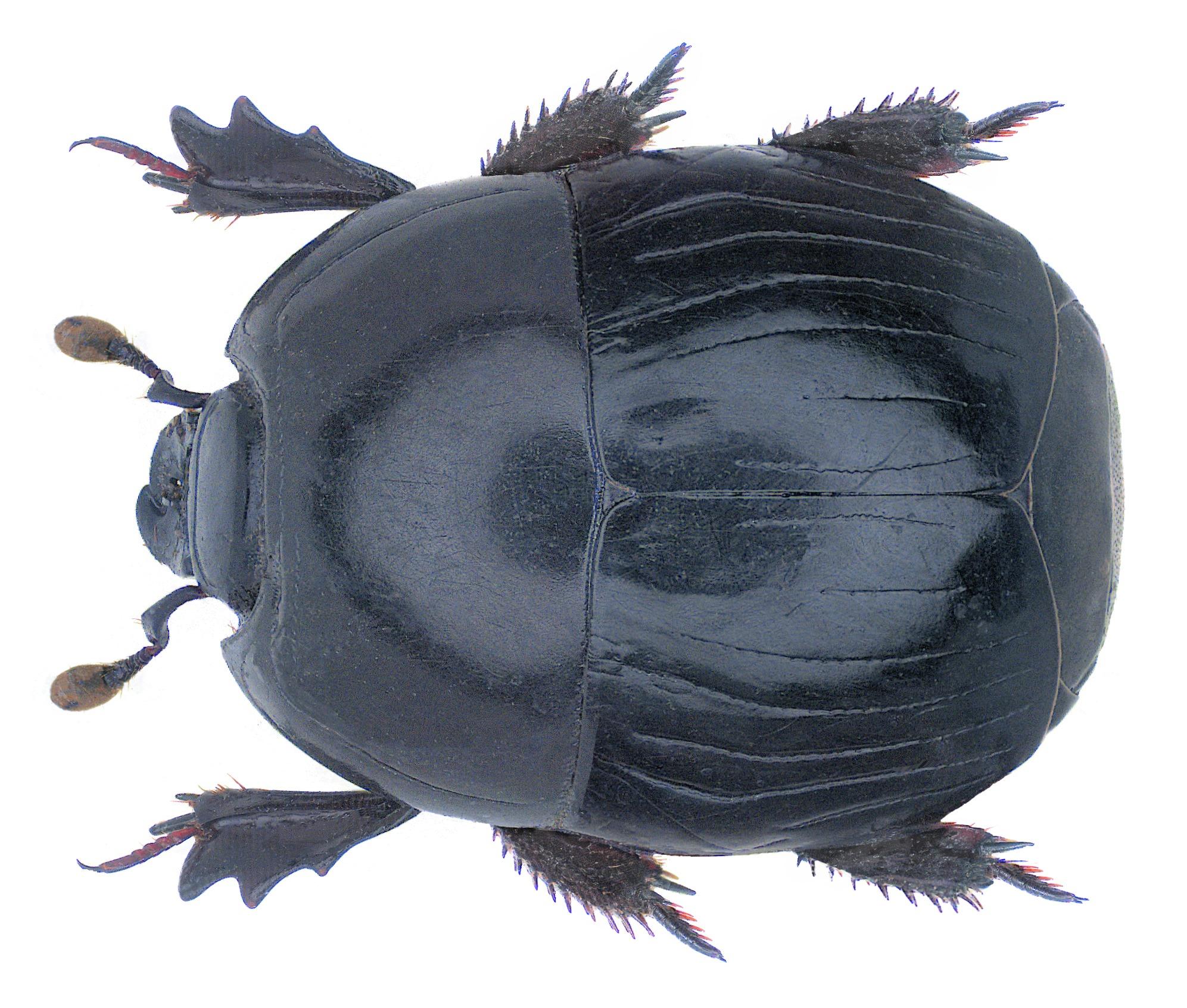 Image of <i>Pachylister</i> (<i>Bellatrix</i>) <i>bellicus</i> (Marseul 1864)