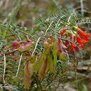 Image of cancer bush