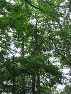 Image of American chestnut