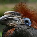 Image of Black-casqued Hornbill