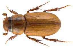 Image of <i>Erytus pruinosus</i> (Reitter 1892)