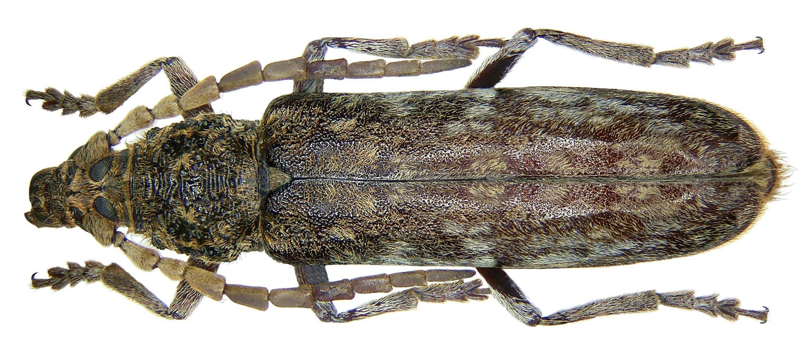 Image of <i>Rhytidodera integra</i> Kolbe 1886