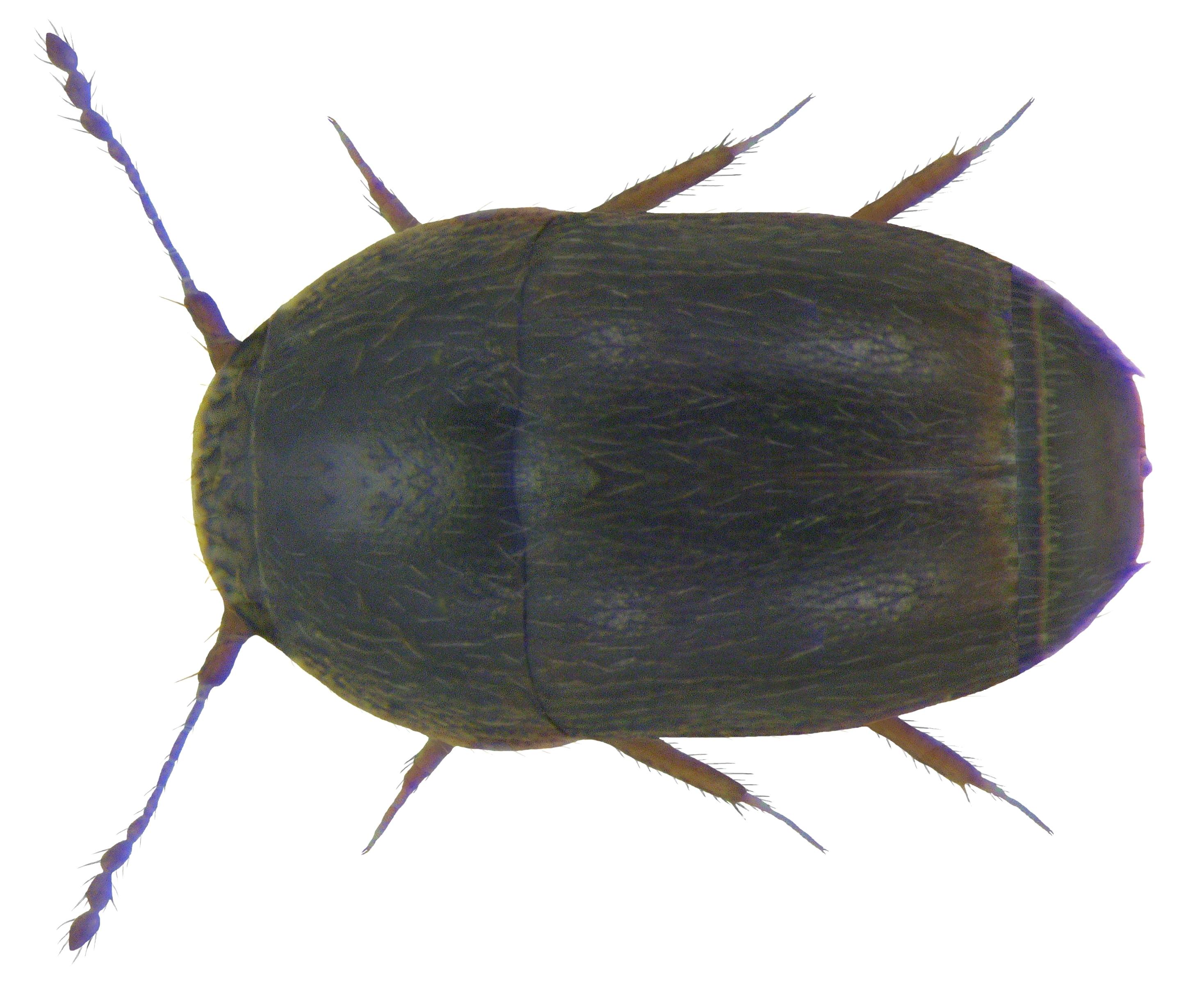 Image of <i><i>Acrotrichis</i></i> (Acrotrichis) <i>intermedia</i> (Gillmeister 1845)