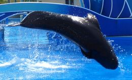 Image of Short-finned pilot whale