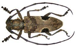 Image of <i>Paraleprodera insidiosa</i> (Gahan 1888)