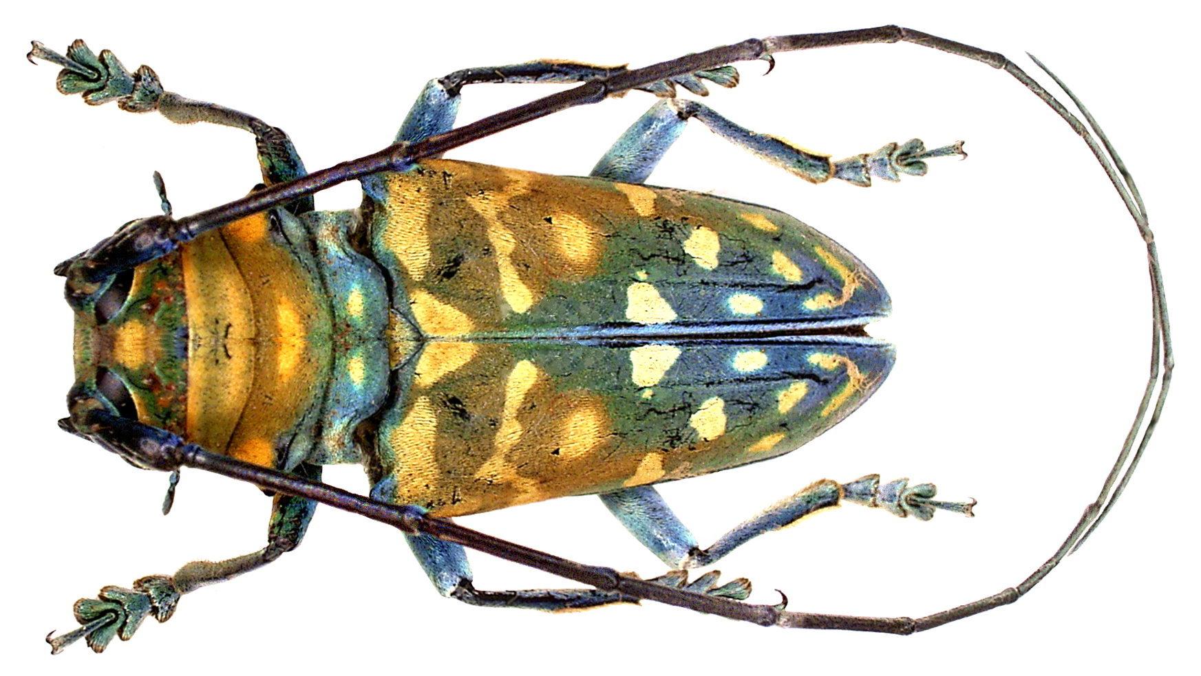 Image of <i>Sternotomis itzingeri</i> Breuning 1935