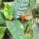 Image of <i>Gesneria ventricosa</i> Sw.
