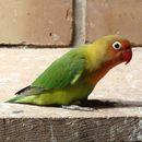 Image of Fischer's Lovebird
