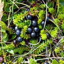 Image of black crowberry