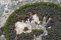 Image of <i>Lathagrium auriforme</i>