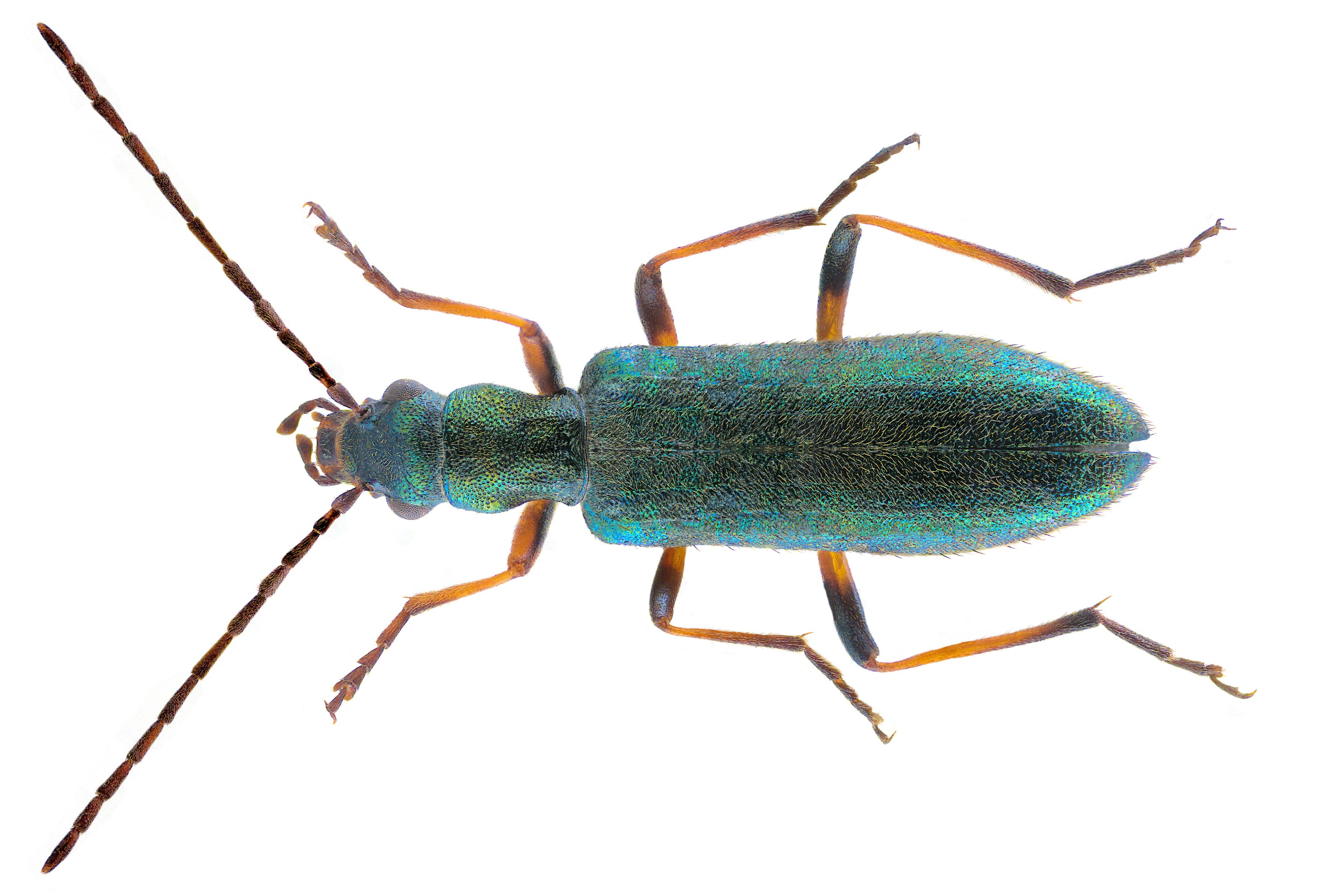 Image of <i>Chrysanthia nigricornis</i>