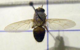 Image of <i>Glossina palpalis</i> (Robineau-Desvoidy 1830)