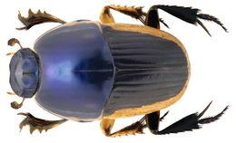 Image of <i>Oniticellus egregius</i> Klug 1855