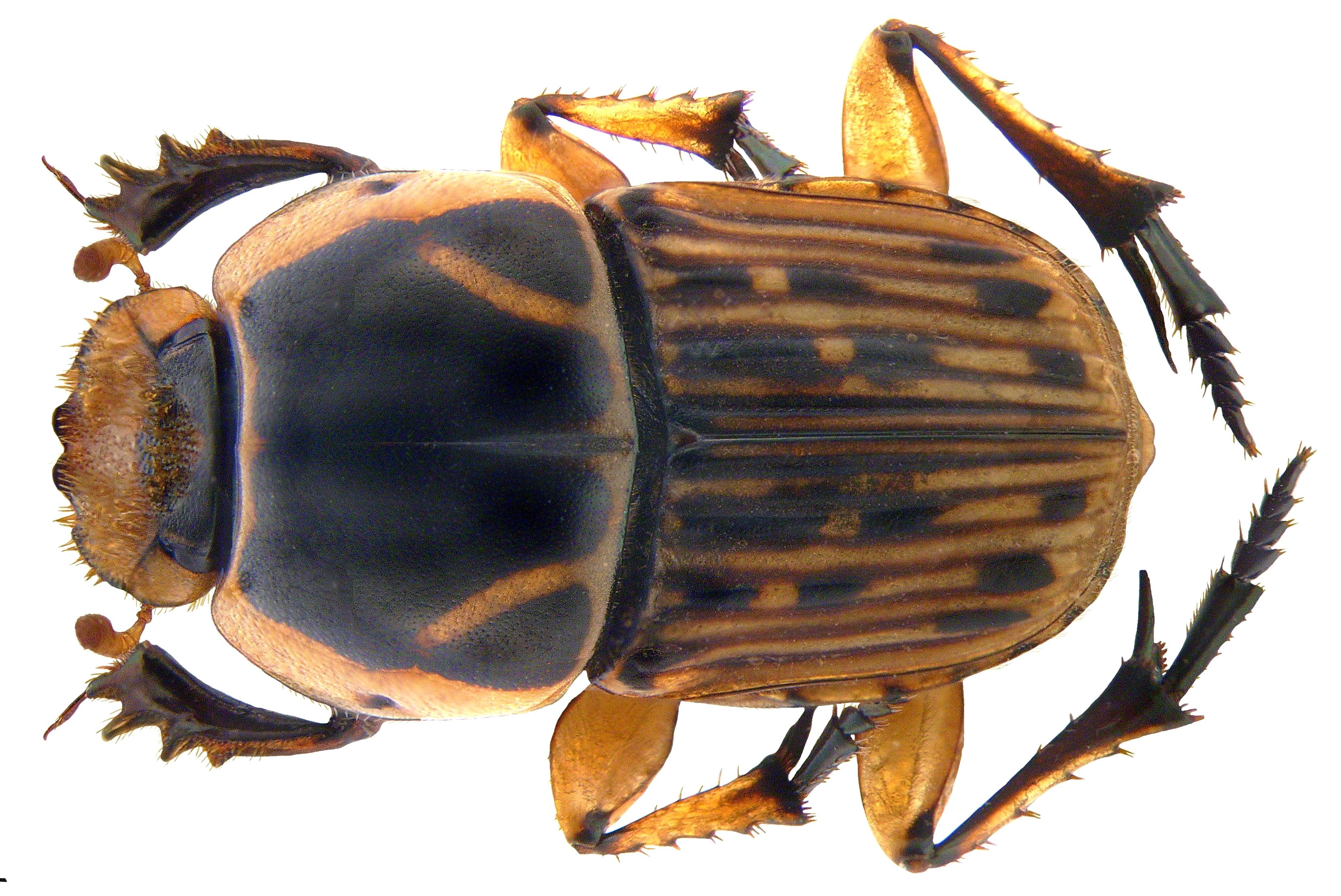 Image of <i>Oniticellus formosus</i> Chevrolat 1830