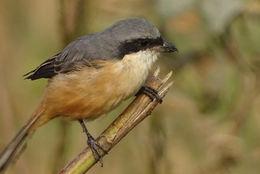 Image of Gray-backed Shrike