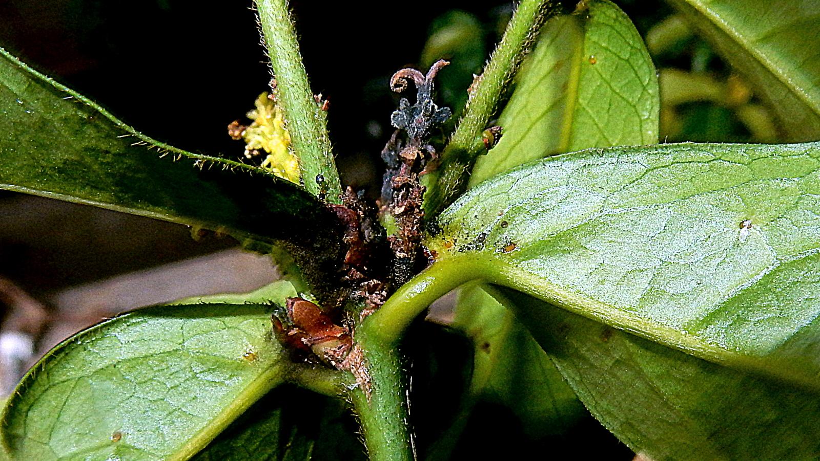 Sivun <i>Actinostemon appendiculatus</i> kuva