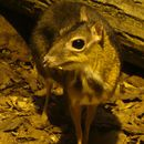 Image of Java Mouse-deer