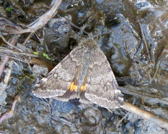 Image of light orange underwing