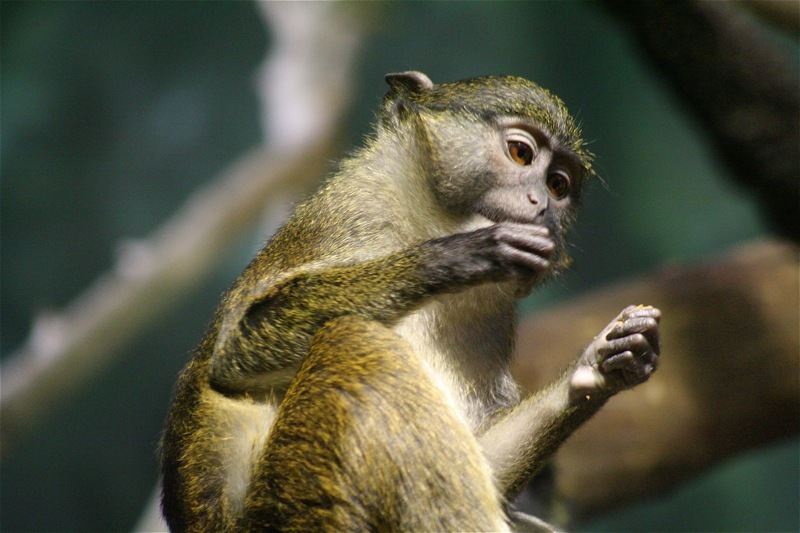 Image of Allen's Swamp Monkey