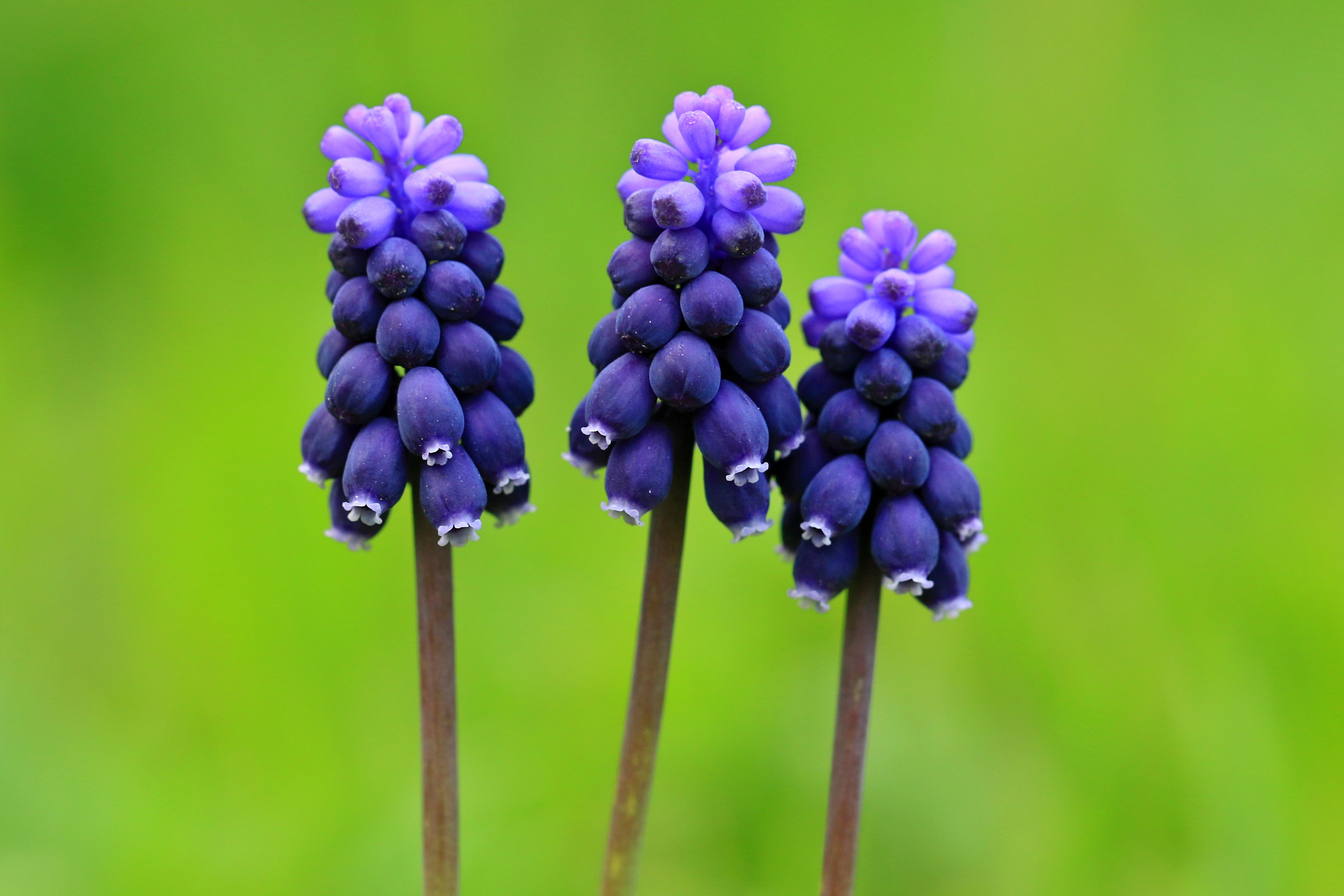 Image of starch grape hyacinth