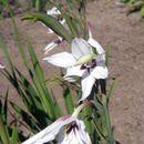 Image of <i>Gladiolus murielae</i> Kelway