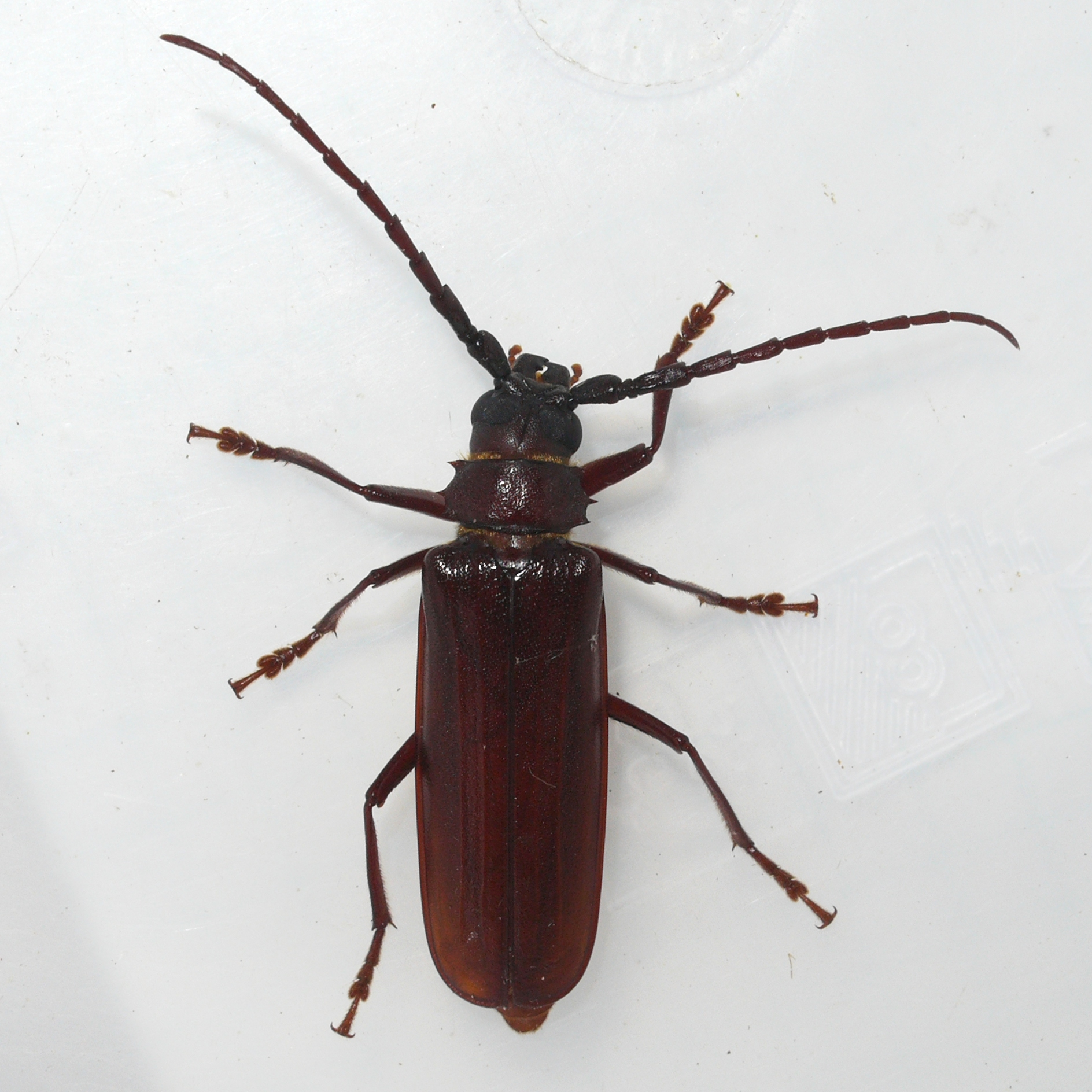 Image of Brown Prionid