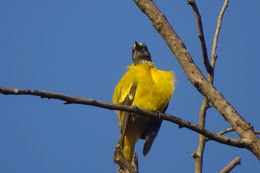 Image of Black-hooded oriole