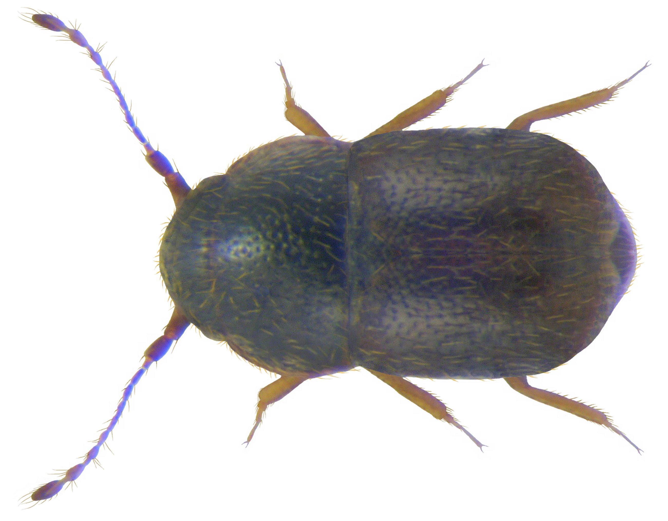 Image of <i>Baeocrara variolosa</i> (Mulsant & Rey 1861)