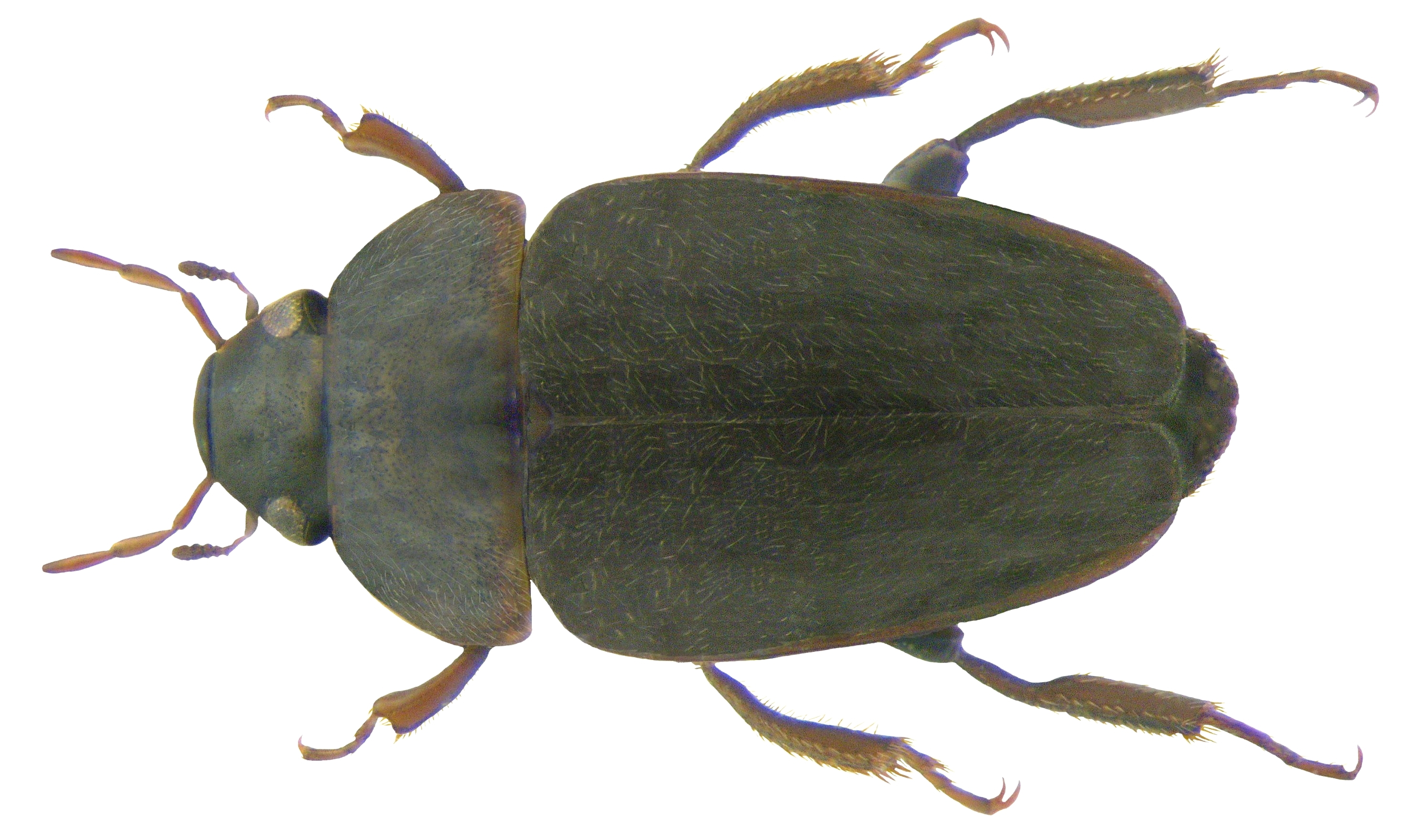 Image of <i>Limnebius truncatellus</i> (Thunberg 1794)