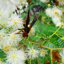 Image of Bimucronate Mimosa