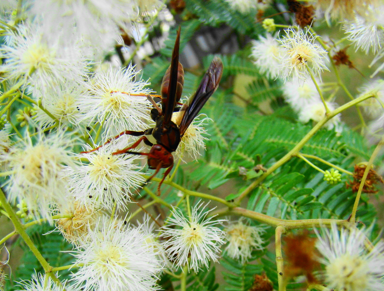Image of Bimucronate Mimosa