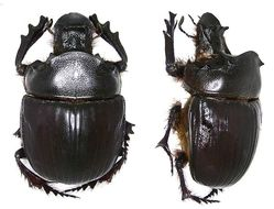 Image of <i>Heliocopris japetus</i> (Klug 1855)
