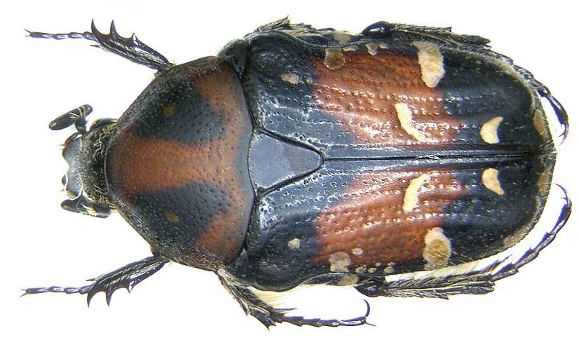 Image of <i>Gametis jucunda</i> (Faldermann 1835)