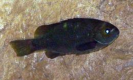 Image of Opaleye