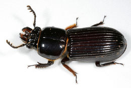 Image of Horned Passalus