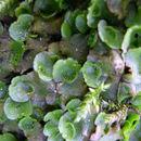 Image of <i>Lunularia cruciata</i> (L.) Dumort. ex Lindb.
