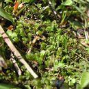 Image of <i>Scapania irrigua</i> (Nees) Nees
