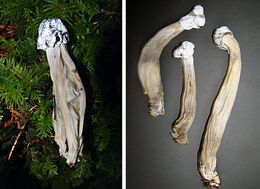 Image of <i>Hypomyces cervinigenus</i>