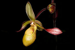 Image of Lindley's Phragmipedium