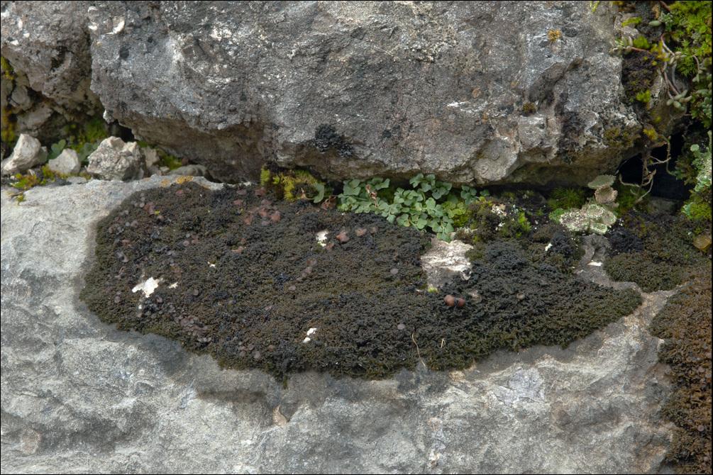 Image of <i>Lathagrium cristatum</i>