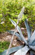 Image of Siler's tuberose