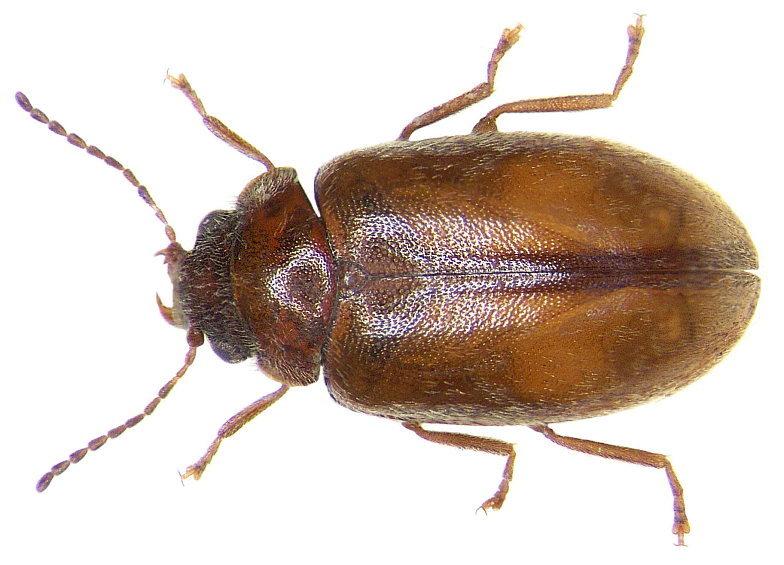 Image of <i>Cyphon laevipennis</i> Tournier 1868