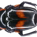 Image of <i>Anochilia laevigata</i> (Gory & Percheron 1835)