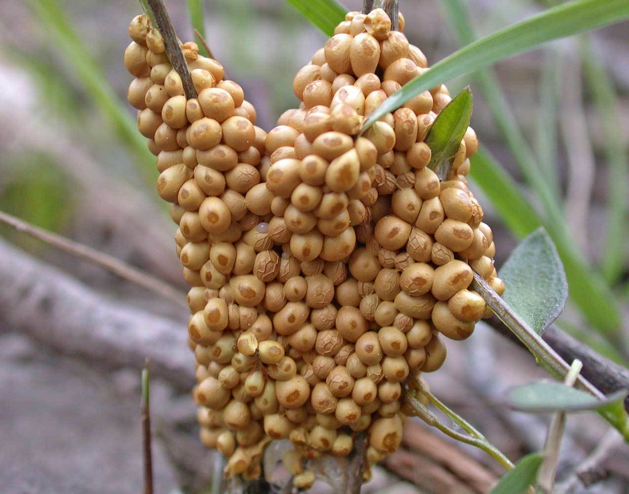 Image of Egg-shell Slime Mould