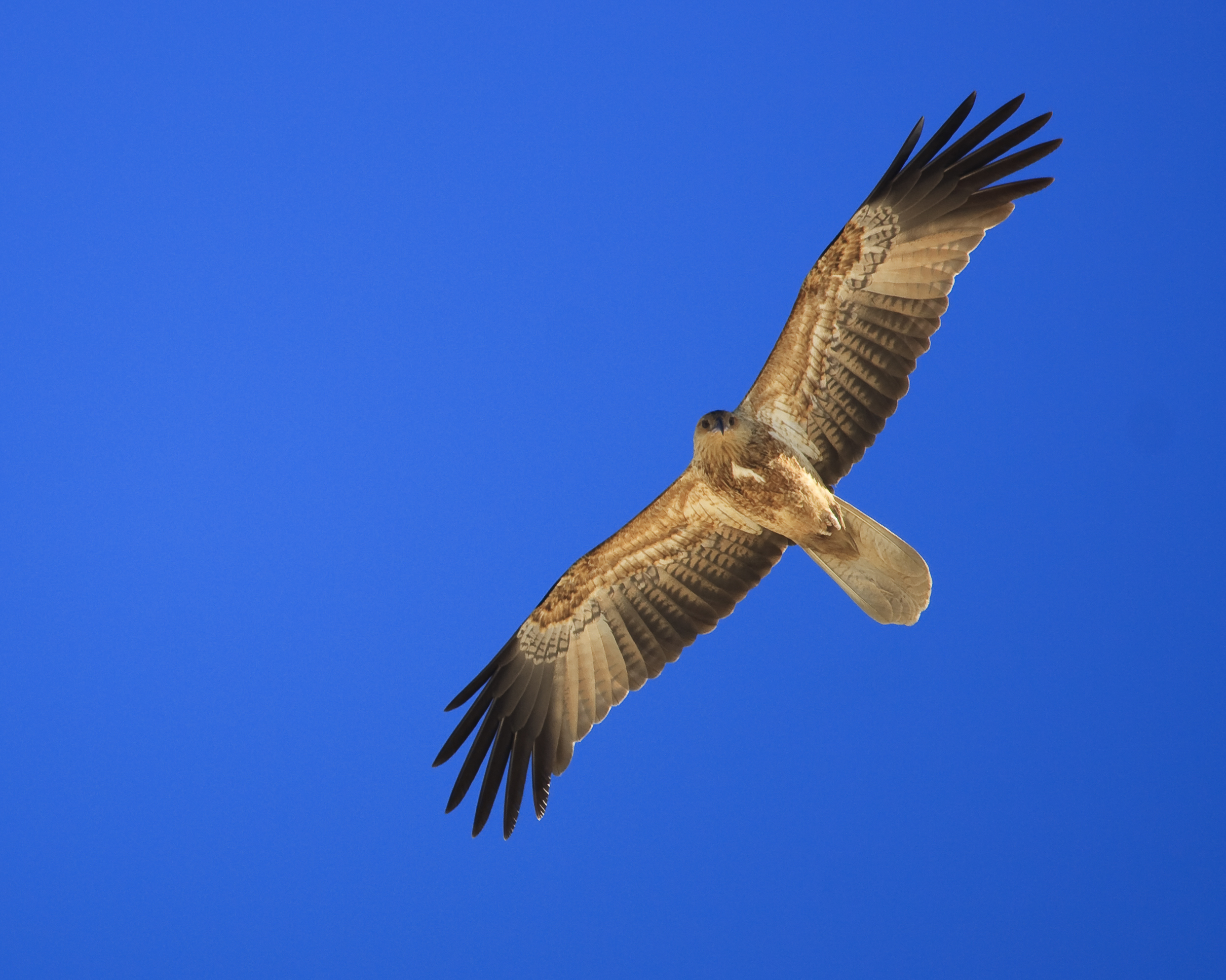 Image of Whistling Kite