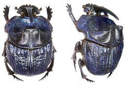 Image of <i>Coprophanaeus</i> (<i>Megaphanaeus</i>) <i>lancifer</i> (Linnaeus 1767)