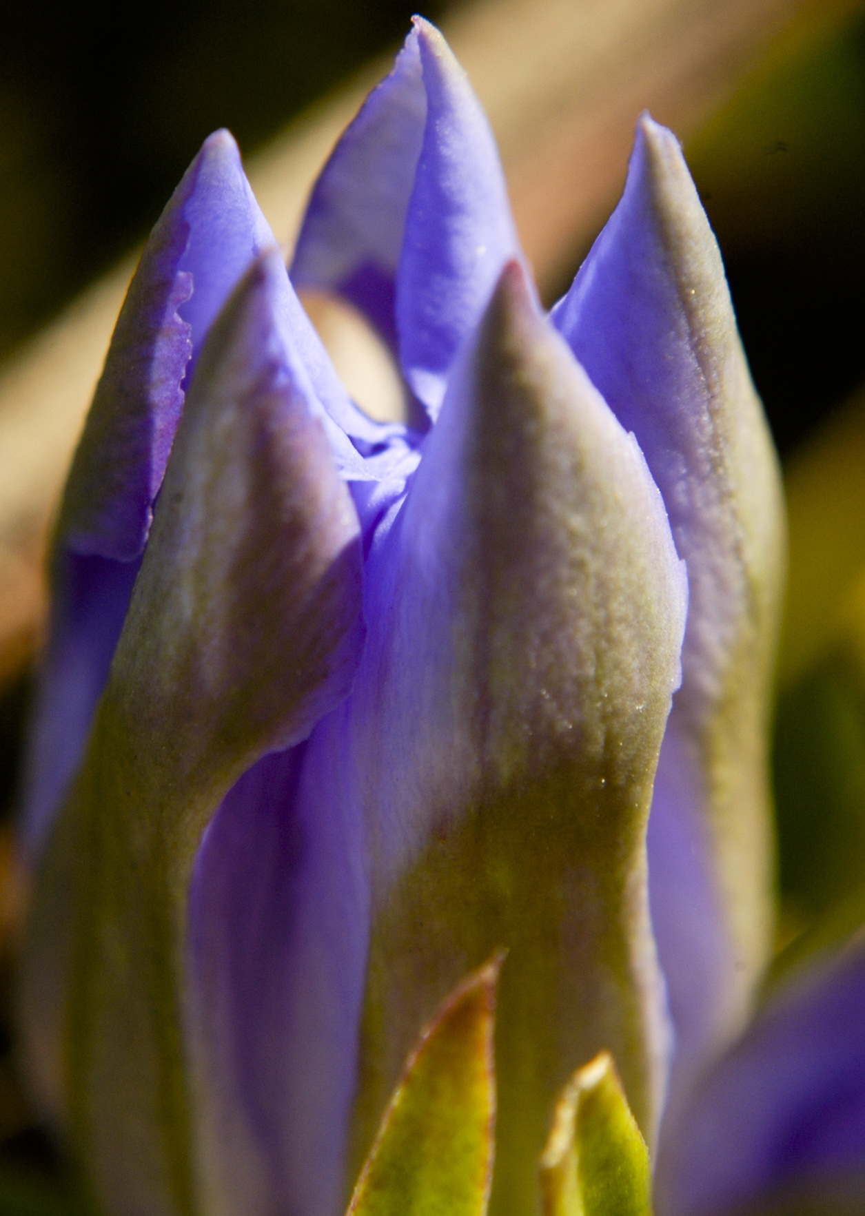 Image of downy gentian